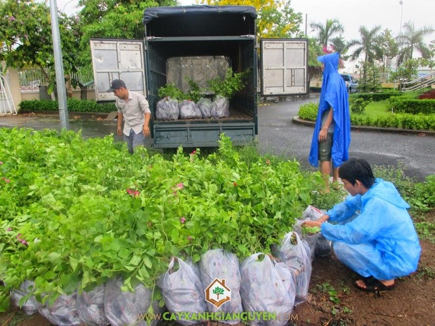 KCN Bắc Đồng Phú, Cây Xanh Gia Nguyễn, cây giống Lâm Nghiệp, cây sưa đỏ, giáng hương