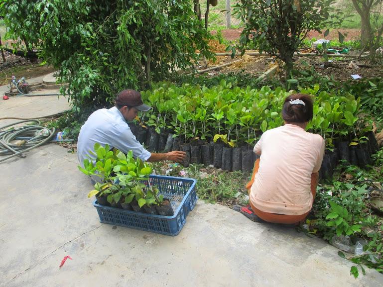 Cây Xanh Gia Nguyễn, Cây Điều, điều giống, Bình Phước, cây giống lâm nghiệp,