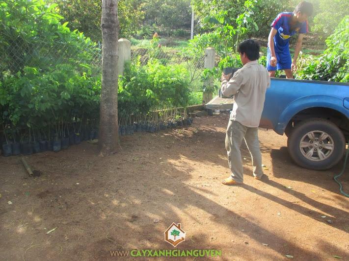 Cây Xanh Gia Nguyễn, cây giống lâm nghiệp, sưa đỏ, gõ đỏ, giáng hương, sầu riêng