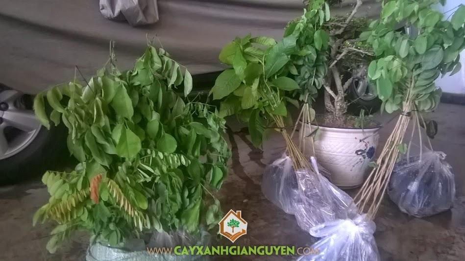 Cây giống, Cây Xanh Gia Nguyễn, Dầu Rái, Trắc Đỏ, Giáng Hương, Hà Nội, Cẩm Lai
