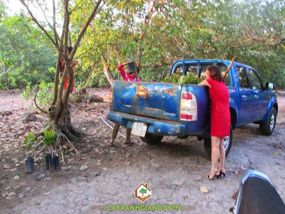 Cây xanh Gia Nguyễn, cây điều, điều giống, cung cấp cây giống, cây giống lâm nghiệp