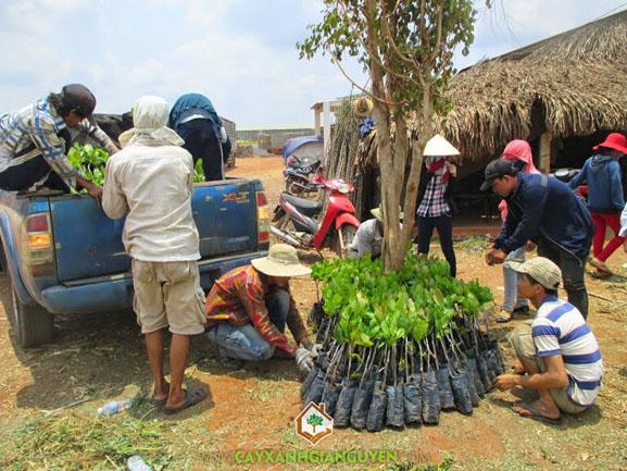 Điều giống, cây xanh Gia Nguyễn, cung cấp cây giống, cây điều, Chú Quang