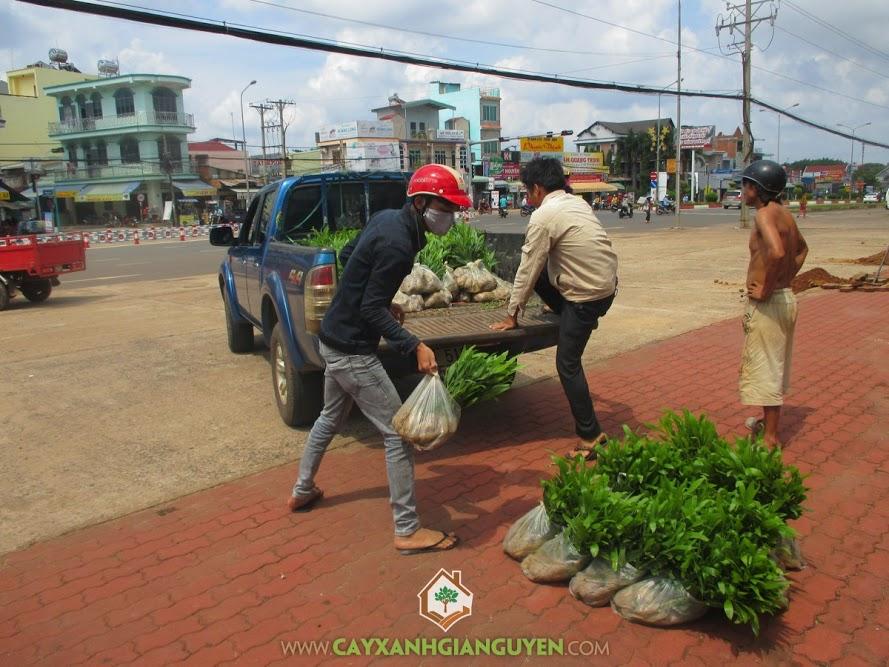 Keo Lai, Cây Giống, Bình Phước, Cây Xanh Gia Nguyễn, cây giống lâm nghiệp, cây công trình