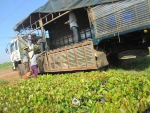 Cây giống, cây giống lâm nghiệp, Cây Xanh Gia Nguyễn, cây công trình, cây điều giống, cây Cẩm Lai