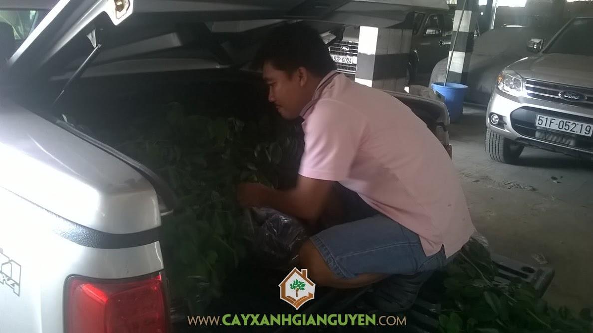 Cây Xanh Gia Nguyễn, Công ty Cây Xanh Gia Nguyễn, cây giống lâm nghiệp, cây công trình, hợp đồng online, cây gỗ gõ đỏ