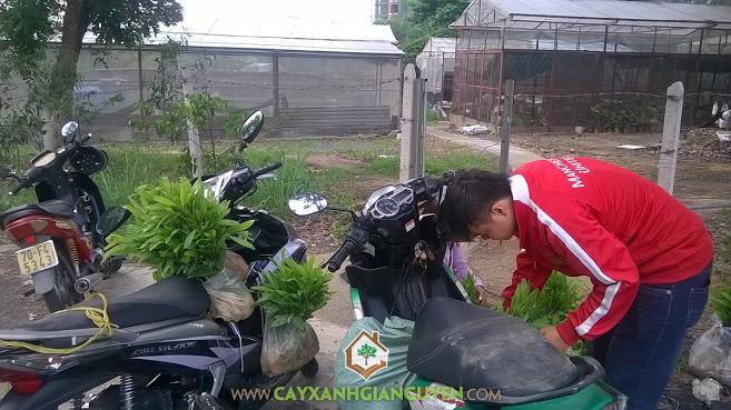 Cây Xanh Gia Nguyễn, Keo Lai, cây giống, cây giống Lâm Nghiệp, Đại học Nông Lâm