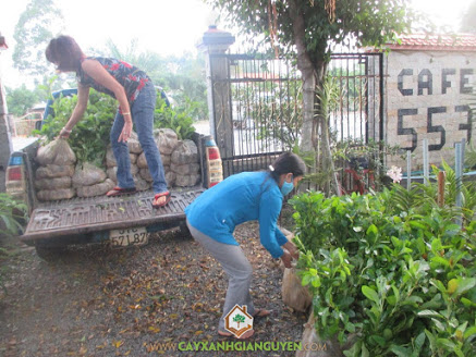 Cây Xanh Gia Nguyễn, công ty Cây Xanh Gia Nguyễn, Cây Gáo Vàng, cây giống, cây giống lâm nghiệp, Bình Dương