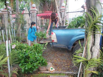 công ty Cây Xanh Gia Nguyễn, Cây Gáo Vàng, cây giống, cây giống lâm nghiệp, Bình Dương, Cây Xanh Gia Nguyễn,