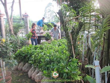 Cây Xanh Gia Nguyễn, , Cây Gáo Vàng, cây giống, cây giống lâm nghiệp, Bình Dương công ty Cây Xanh Gia Nguyễn