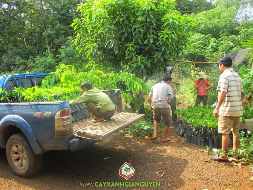 Cây giống lâm nghiệp, cây điều thái, cây điều giống, Cây Xanh Gia Nguyễn, Cây xanh