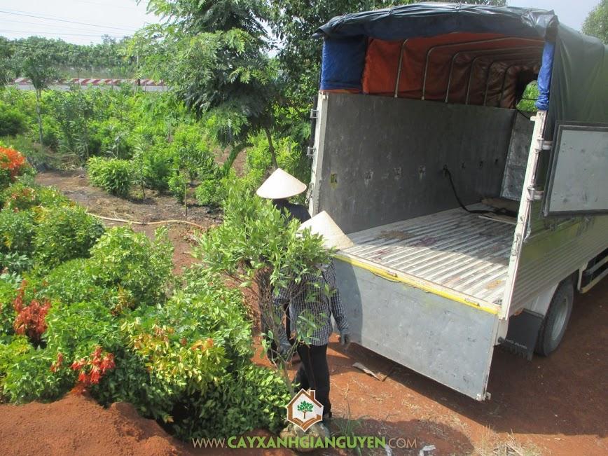 Công ty cây xanh Gia Nguyễn, cây hồng lộc, cây xanh Gia Nguyễn, cây giống, cung cấp cây giống
