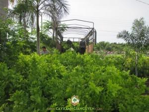 Cây xanh Gia Nguyễn, cung cấp cây giống, cây nguyệt quế, công ty cây xanh Gia Nguyễn, cây giống lâm nghiệp