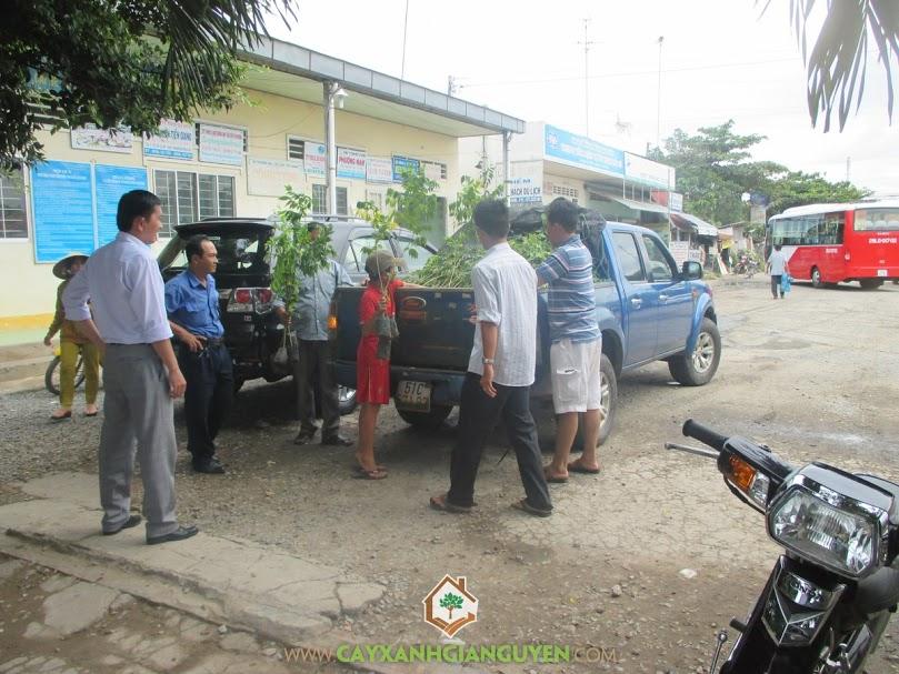 Công ty cây xanh Gia Nguyễn, cây sưa đỏ, cây giống, cây xanh Gia Nguyễn, cung cấp cây giống