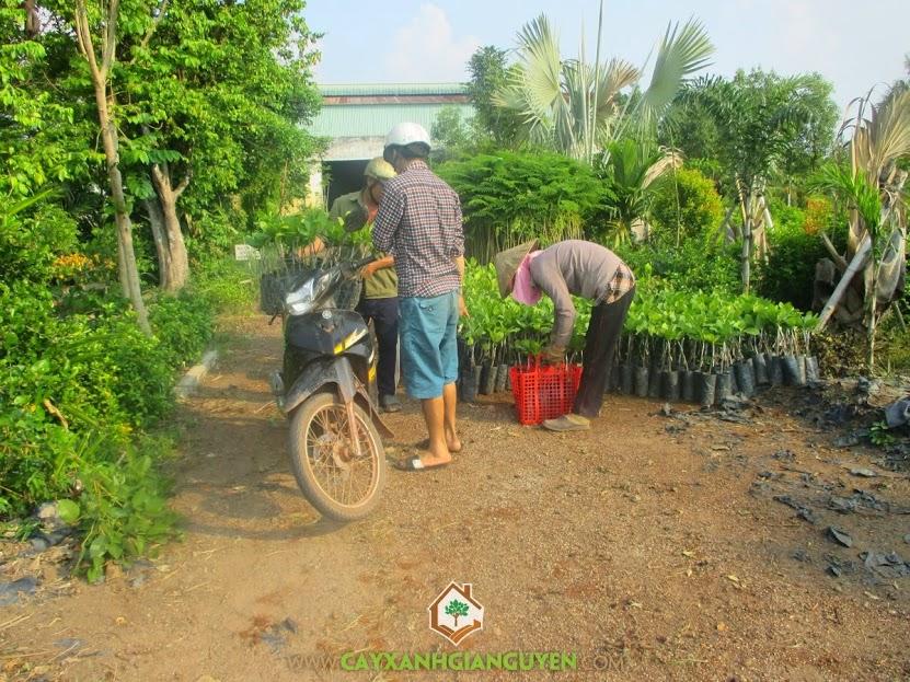 cây xanh Gia Nguyễn, điều giống, khách hàng, Bình Phước, Cây Giống Lâm Nghiệp, Cây giống