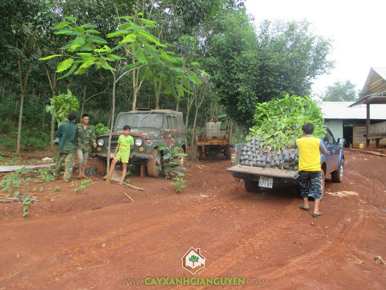 Cây xanh Gia Nguyễn, cây dầu rái, cây giống, cung cấp cây giống, cây giống lâm nghiệp