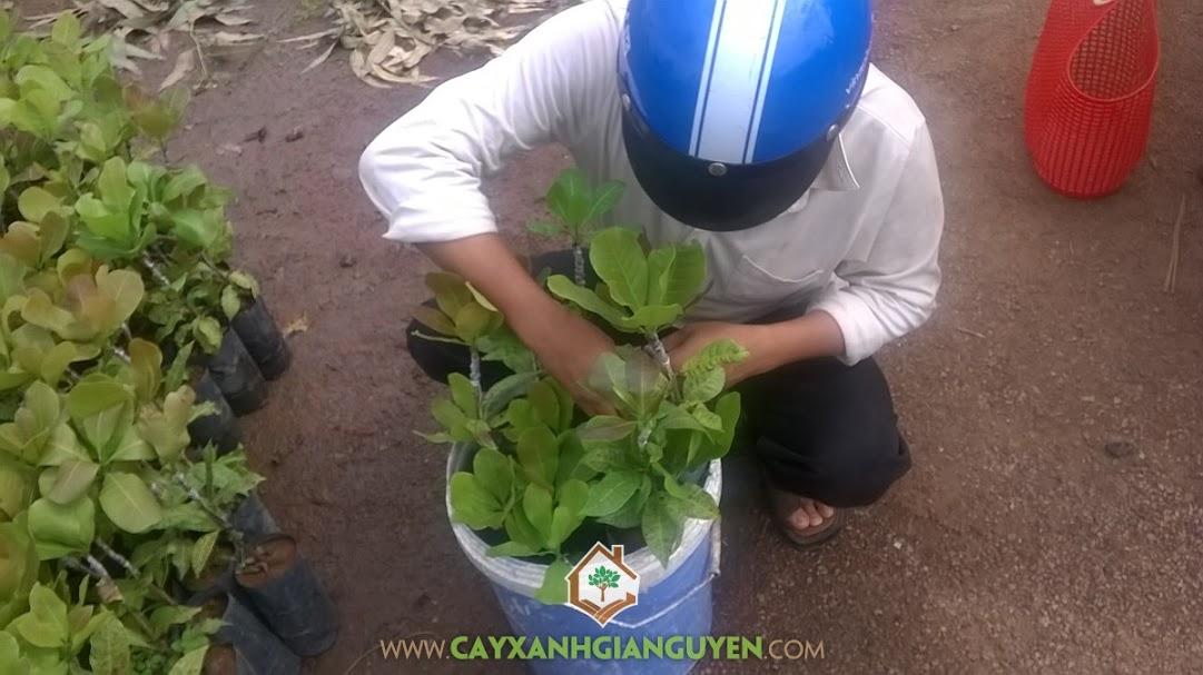 Công ty cây xanh Gia Nguyễn, cây điều cao sản, cây xanh Gia Nguyễn, cây giống, giống điều cao sản