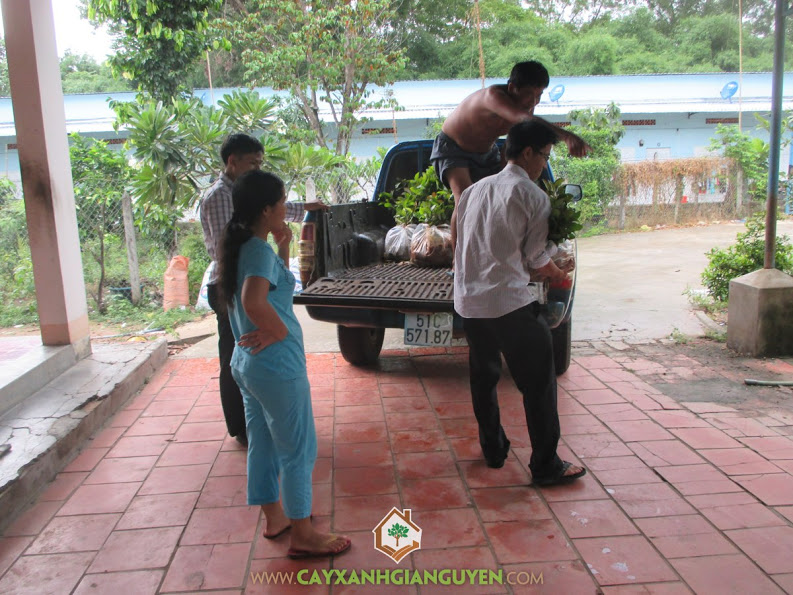 Cây gáo vàng, Cây xanh Gia Nguyễn, gỗ gáo vàng, Công ty cây xanh Gia Nguyễn, vườn ươm