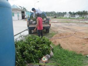 Cây xanh Gia Nguyễn, cây gáo vàng, cây giống, cung cấp cây giống, công ty cây xanh Gia Nguyễn
