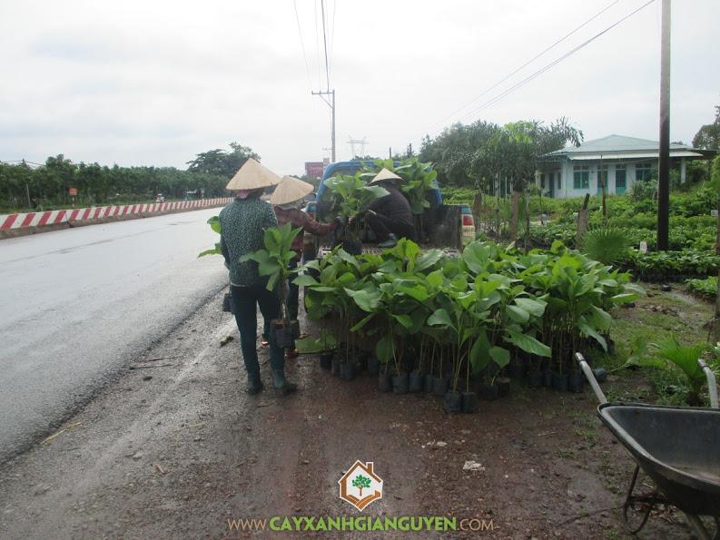Công ty cây xanh Gia Nguyễn, cây giá tỵ, gỗ tếch, Cây xanh Gia Nguyễn, cây giống