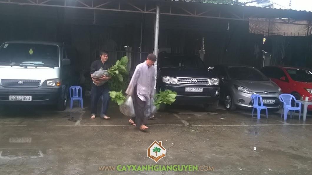 Công ty cây xanh Gia Nguyễn, cây giá tỵ, chăm sóc cây giống, cây giống, cây xanh Gia Nguyễn