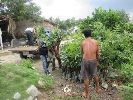 Công ty cây xanh Gia Nguyễn, cây giống, cây sưa đỏ, cây sao đen, cây trắc đỏ