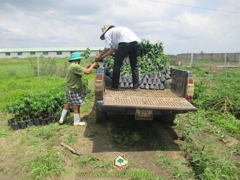 Công ty cây xanh Gia Nguyễn, cây gõ đỏ, cây giống, gỗ gõ đỏ, mua cây