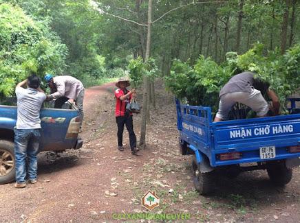 Cây xanh Gia Nguyễn, cây sưa đỏ, sưa đỏ, chăm sóc cây giống, cung cấp cây giống