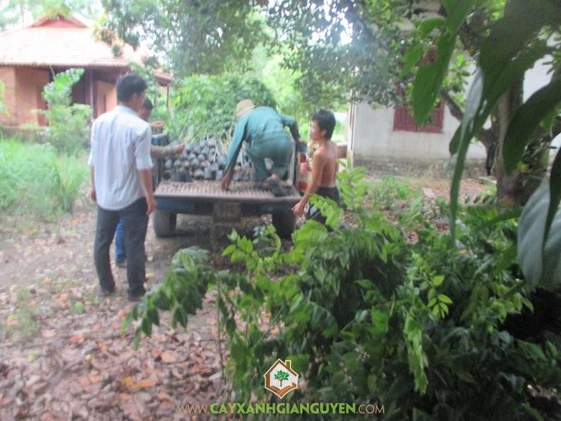 Công ty cây xanh Gia Nguyễn, cây sưa đỏ, cây giống lâm nghiệp, cây xanh Gia Nguyễn, cây giống
