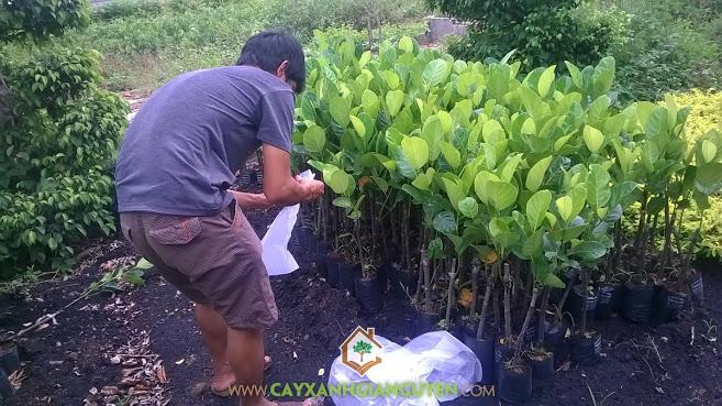 Cây mít giống, công ty cây xanh Gia Nguyễn, cây xanh Gia Nguyễn, cây giống, cây mít thái lá bàng