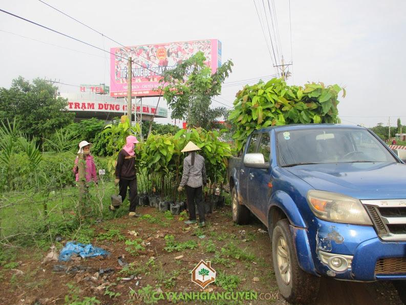 Cây xanh Gia Nguyễn, Công ty cây xanh Gia Nguyễn, cây dầu rái, dầu rái, khu công nghiệp Bắc Đồng Phú