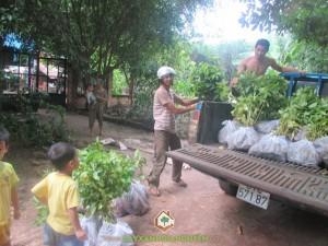 cây gáo vàng, cây tỉ phú, cây xanh gia nguyễn, cây giống, cây giống lâm nghiệp