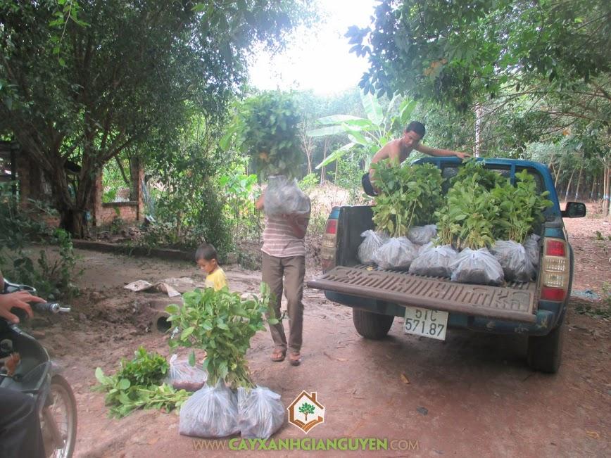 Cây Xanh Gia Nguyễn giao hàng 700 cây gáo vàng cho anh Thiên