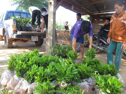 Công ty cây xanh Gia Nguyễn, cây keo lai BV 32, cây điều Ấn Độ BN1, keo lai, điều giống