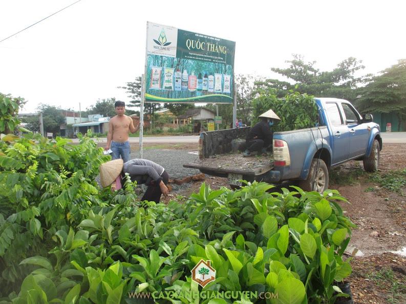 Công ty cây xanh Gia Nguyễn, cung cấp cây giống, cây mít thái lá bàng, cây sưa đỏ, cây bưởi da xanh