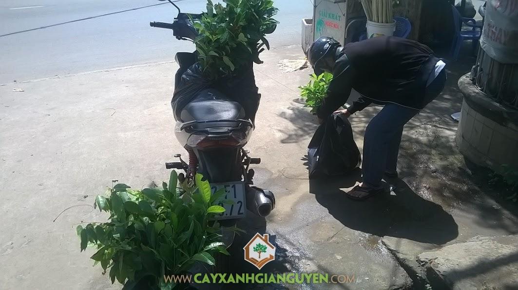 Cây xanh Gia Nguyễn, Cây sao đen, cây xà cừ, Cây giống lâm nghiệp, gỗ sao đen