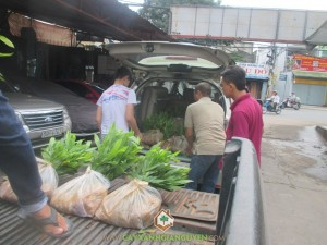 Cây Xanh Gia Nguyễn đã nhanh chóng cho người bốc dỡ và vận chuyển cây giống