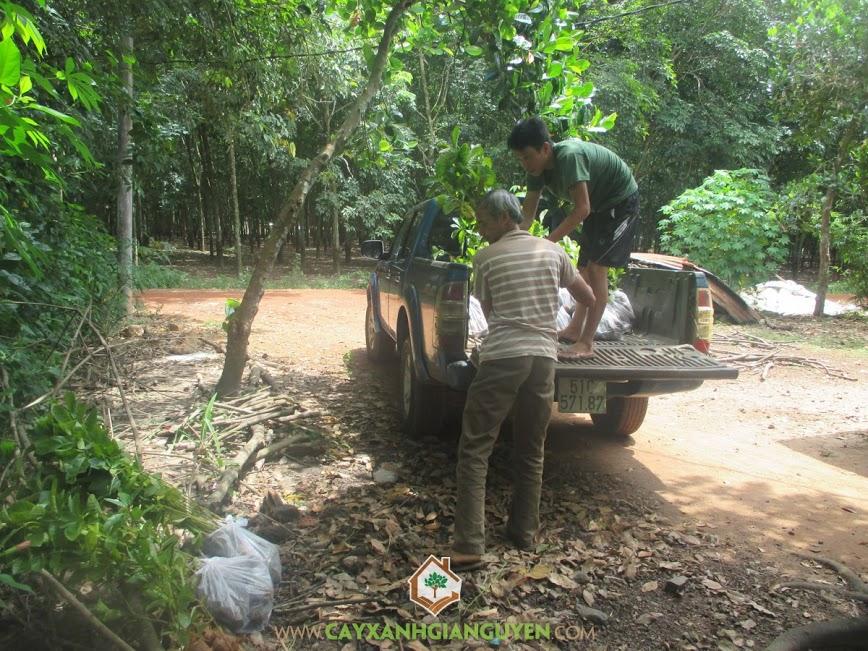 Cây xanh Gia Nguyễn cung cấp 500 cây gáo vàng cho Bác Thiên