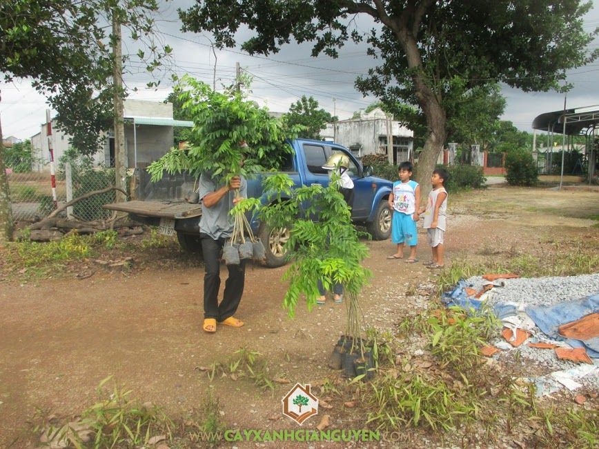 Công ty Cây xanh Gia Nguyễn cung cấp 200 cây sưa đỏ anh Hoàng