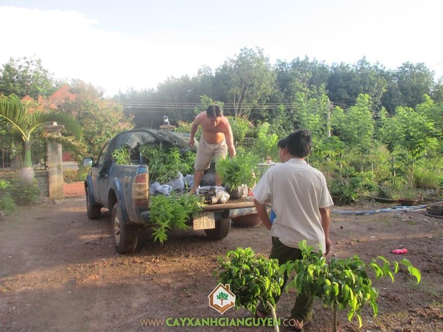 cây xanh gia nguyễn, cây trôm, cây trôm giống, cung cấp cây trôm giống, cây giống lâm nghiệp