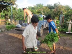 cây trôm giống, cung cấp cây trôm giống, cây giống lâm nghiệp