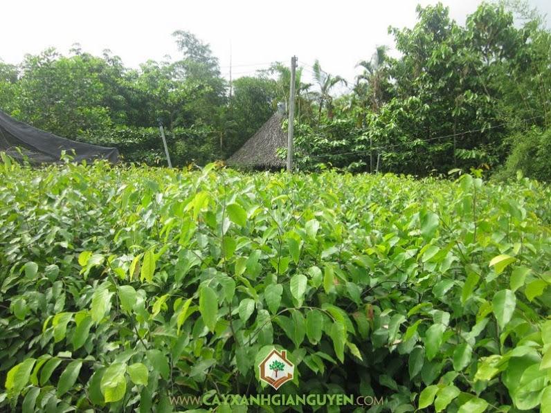 Cây sao đen, cây xanh Gia Nguyễn, Cây gỗ lớn, Cây ưa sáng, Cây gỗ