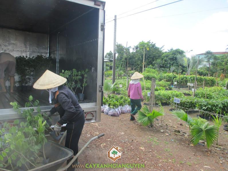Cây xanh Gia Nguyễn, cây gáo vàng, cây gõ đỏ, Cây giáng hương, Cây giống lâm nghiệp