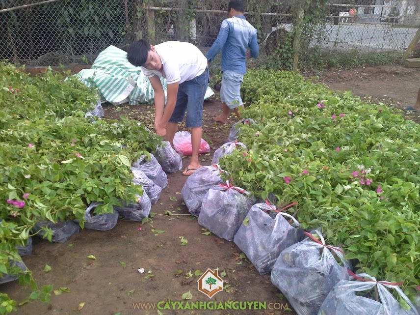 Công ty cây xanh Gia Nguyễn, Cây bông giấy, Cây hoa giấy, Cây xanh Gia Nguyễn, Cung cấp cây giống