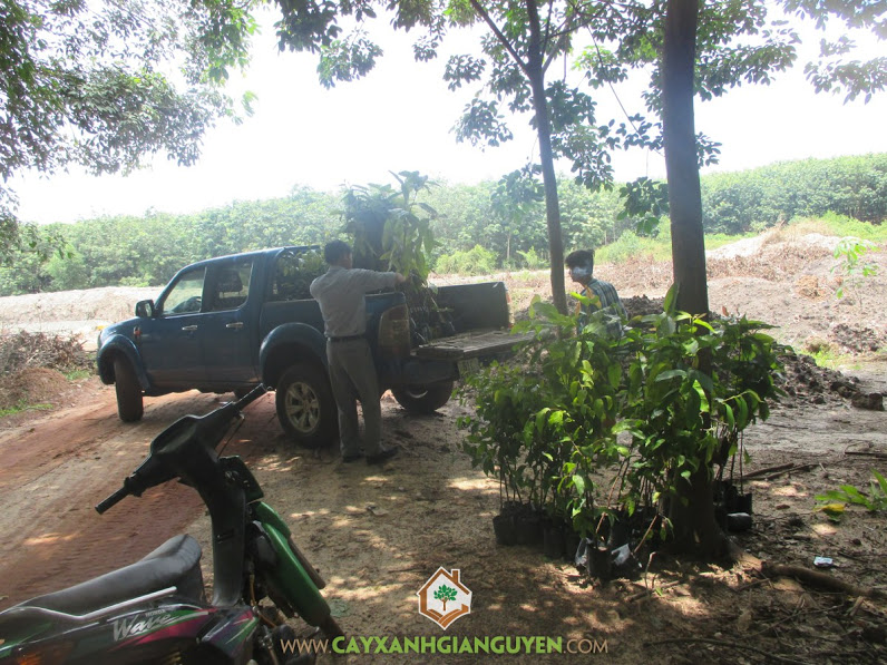 Công ty cây xanh Gia Nguyễn, Cây dầu rái, Giống cây dầu rái, Cây thân gỗ lớn, Cây giống lâm nghiệp