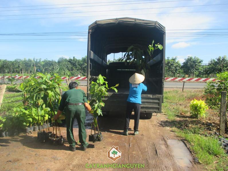 Cây xanh Gia Nguyễn, Cây dầu rái, Cây giống, Trồng cây xanh, cây thân gỗ lớn