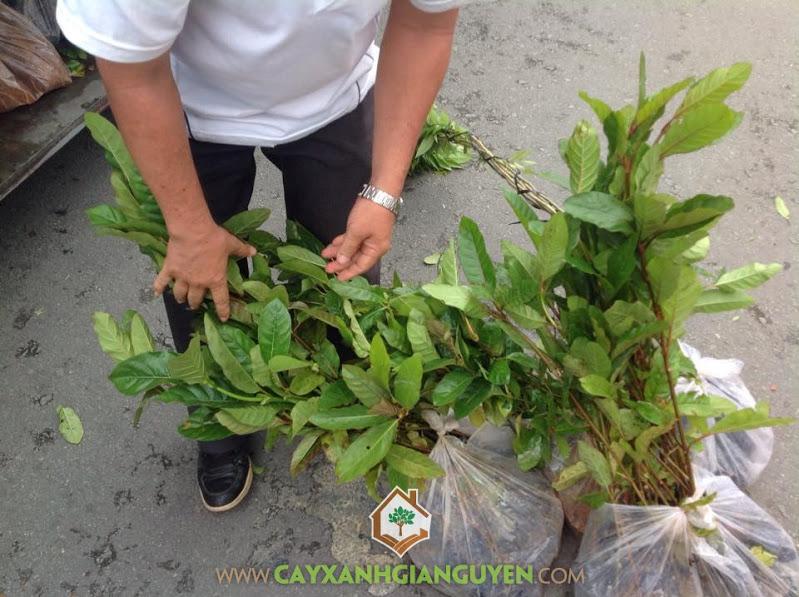 Công ty cây xanh Gia Nguyễn, Cây gáo vàng, Cây gáo vàng giống, Cây giống lâm nghiệp, Cây thiên ngân