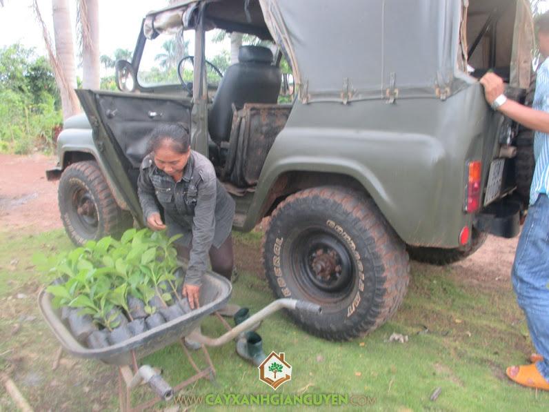 Công ty cây xanh Gia Nguyễn, Cây giá tỵ, Cây gốc tếch, gỗ giá tỵ tự nhiên, cây điều