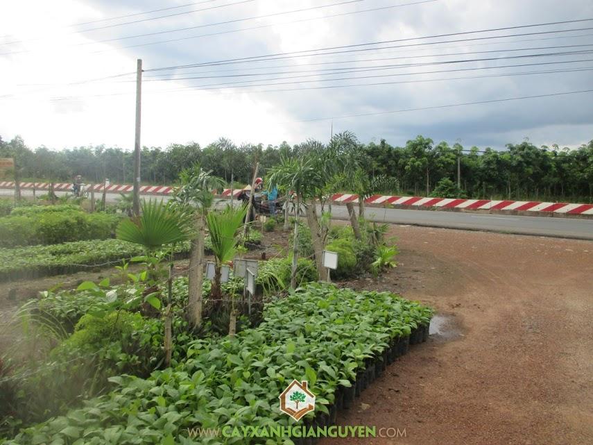 Công ty cây xanh Gia Nguyễn, Cây giá tỵ, Cây sao đen, Cây giống, Cây dừa xiêm lùn