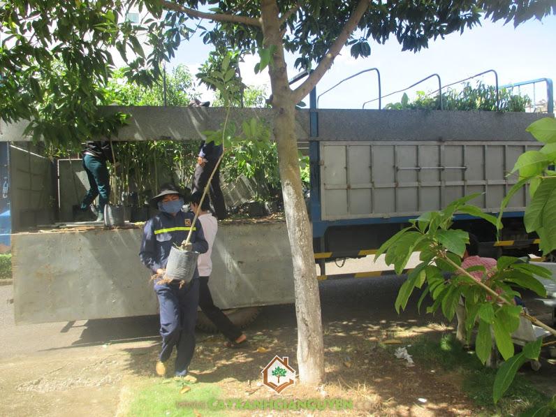 Công ty cây xanh Gia Nguyễn, Cây xanh Gia Nguyễn, cây bằng lăng, cây osaka vàng, Khu công nghiệp Bắc Đồng Phú
