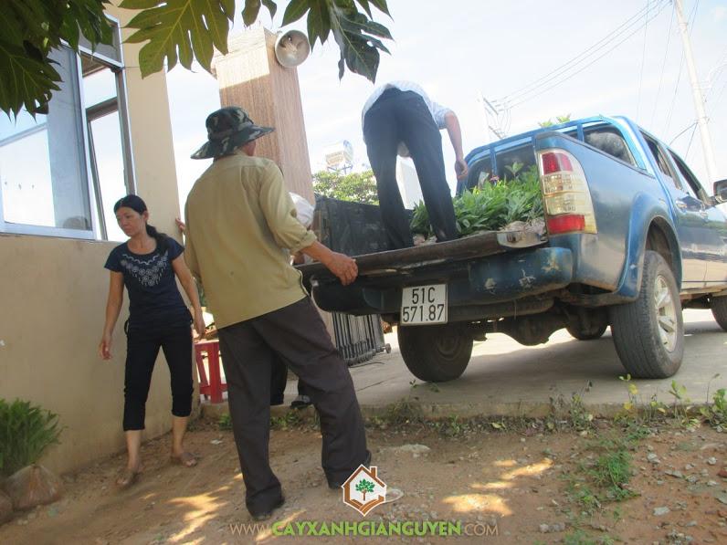 Công ty cây xanh Gia Nguyễn, Cây keo lai, Cây gáo vàng, Loại giống cây lâm nghiệp, Cây tràm bông vàng